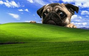 Windows XP, dog, pug