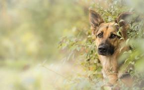 dog, German Shepherd