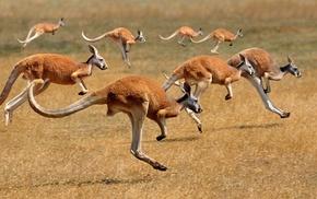 animals, kangaroos