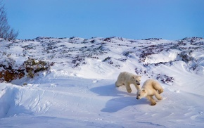 nature, polar bears, winter, snow, playing, animals
