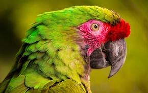 closeup, parrot, green, birds, animals