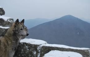 snow, dog