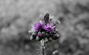 nature, purple, flowers, monochrome, photographer, macro
