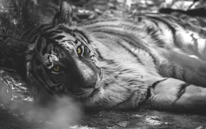 tiger, selective coloring, animals