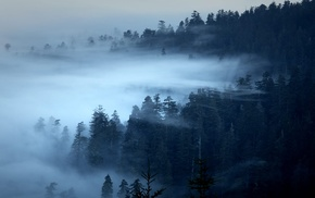 pine trees, landscape, nature, forest, trees, morning