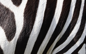fur, black, stripes, zebras, animals, white