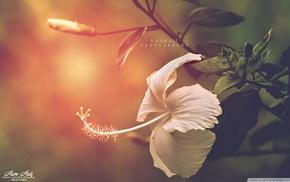 flowers, hibiscus, nature, filter