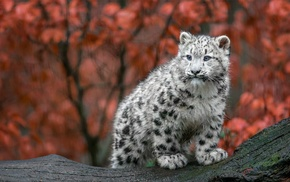 animals, Germany, big cats, baby animals, fall, snow leopards