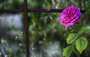 flowers, blurred, closeup, pink