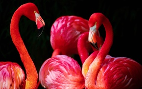 flamingos, animals, birds