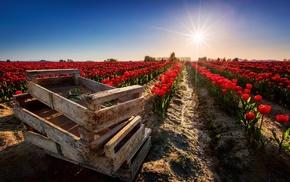 field, tulips