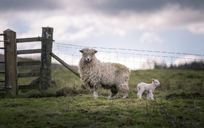 baby animals, sheep, fence, lamb, animals