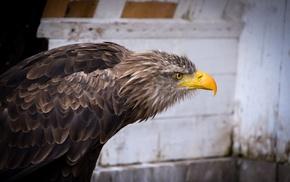 Nikon, animals, nature, Germany, eagle, photography