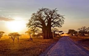 shrubs, sunset, landscape, Africa, baobab trees, dry grass