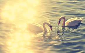 reflection, swan, couple, lake