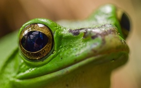 eyes, macro, animals, amphibian, frog