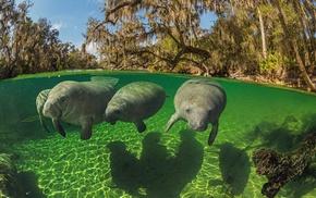animals, split view, manatee