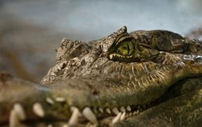 Vancouver, closeup, reptiles, animals, crocodiles