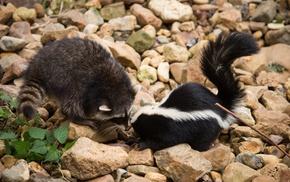 raccoons, animals, skunk, rocks