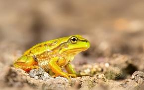 amphibian, macro, animals, frog