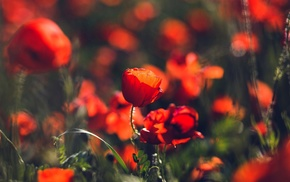 flowers, poppies, red flowers, macro