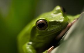 frog, macro, amphibian, animals