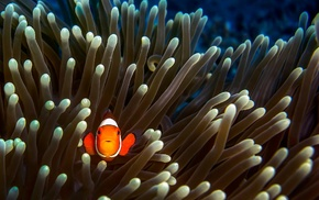 sea anemones, fish, clownfish, animals