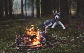 dog, fireplace, Siberian Husky, animals, fire, nature