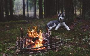 dog, fireplace, Siberian Husky, animals, fire, nature