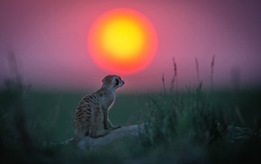 meerkats, animals, Sun, depth of field