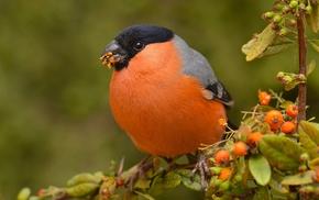 macro, animals, finches, birds, Bullfinch