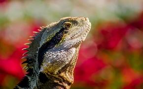 closeup, reptiles, animals