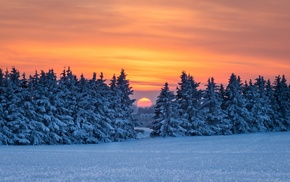 pine trees, snow, landscape