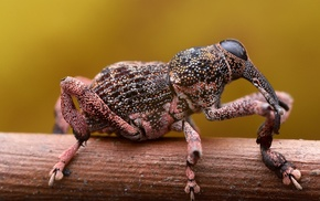 insect, animals, weevil