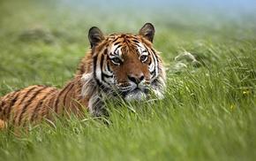 nature, tiger