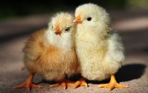 chickens, birds, baby animals, animals