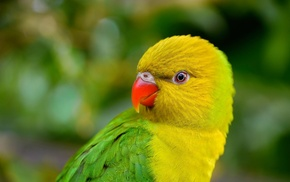 animals, parrot, lorikeet, birds