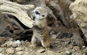 baby animals, meerkats, animals