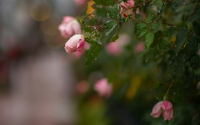 depth of field, macro, rose, flowers