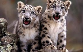 animals, snow leopards, leopard animal, baby animals
