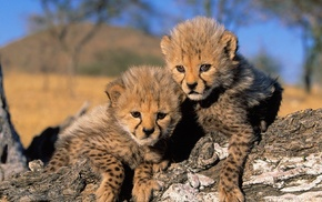 Africa, cheetah, landscape, animals, nature, baby animals