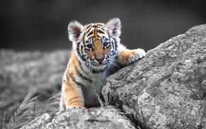 tiger, animals, baby animals
