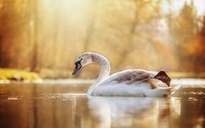 swan, birds, water, animals