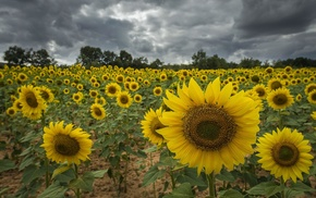 flowers, sunflowers, field