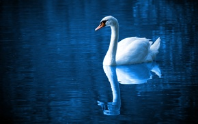 feathers, swan, peaceful, blue, lake, swimming
