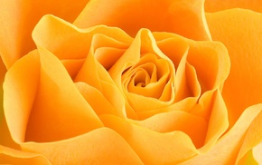 macro, yellow flowers, flowers, rose, petals, closeup