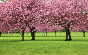 blossom, trees, landscape, flowers, cherry blossom, cherry trees