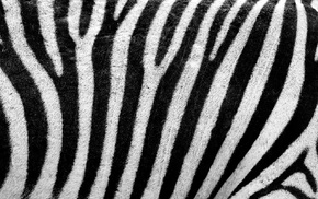 stripes, white, skin, texture, fur, abstract