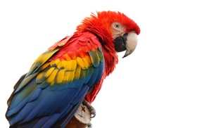 animals, feathers, birds, parrot, colorful, macaws