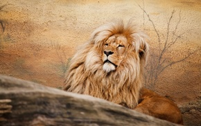 feline, animals, lion, fur, wildlife
